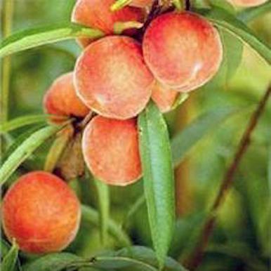 Belle-Georgia-Peach