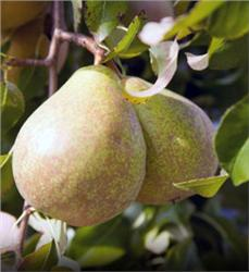 Kieffer Pear Tree