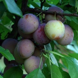 Methley plums