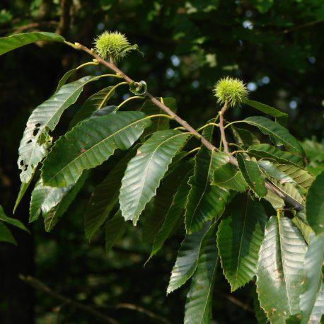 dunstan tree